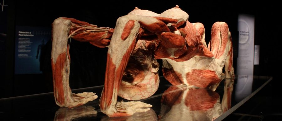 Through a process called plastination, different specimens can be posed and preserved for years. Students with perfect attendance were given the opportunity to view these specimens at the Body Worlds: Pulse exhibit at the California Science Center on Feb. 2.